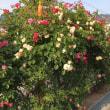 柏原町内の素敵なバラ