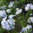 散歩で見た花、涼しそうな花(アガパンサス、ヒエンソウ、キキョウ、ルリマツリ)を載せました。