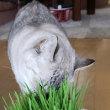フレッシュ猫草