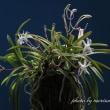 富貴蘭「桃太郎」の花