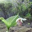 蒟蒻と熊谷草