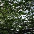 新緑のさくら並木