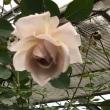 秋薔薇でアレンジメント