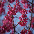 寒緋桜が咲きました