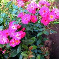 今年の庭のバラ達(9)