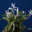 フウラン山採り赤花(淡路産)の花