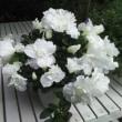 満開の純白のアザレア、銀賞受賞の白い仙人掌