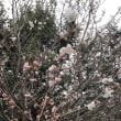 屋敷内の啓翁桜とサクランボの花が開花