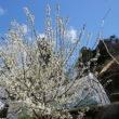 🌸『イクリ』の花が満開になりました✌('ω'✌ )
