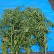 「みずき菜」の種採り