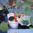 秋・冬野菜の植えつけ