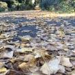 2018年12月15日 活動報告 イチョウの葉を掃除しました
