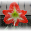 Father's Day Gift ♥ Amaryllis