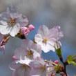 高尾さくら公園で咲く「マメザクラ」(その2) !!