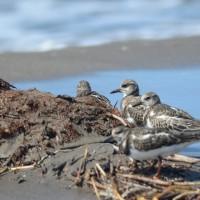 キョウジョシギ 4羽の群れ