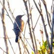 11/21探鳥記録写真-2(はまゆう公園の鳥たち:モズ、ジョウビタキほか)