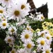 枯初む庭菊