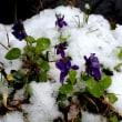 春の雪、積もりました。/すみれと雪。