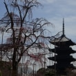 京の桜情報2018 教王護国寺(東寺) 五重塔と不二桜