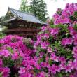 つつじまつり 根津神社2018