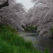 2017 桜 五条川(愛知県)