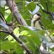 今日の野鳥、イカル ・ シジュウカラ。