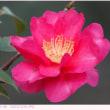 カンツバキ 〈寒椿 紅色の八重咲〉