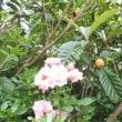 ウグイス枇杷バラ