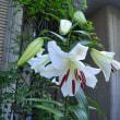ゆりの開花その16