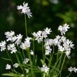 コアニチドリの花
