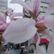 「シデコブシ」の花は1週間早い