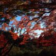 澤明宏アナウンサーと紅葉祭り、そしてヒマラヤザクラ