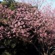 記念樹という寒桜に会いに
