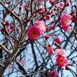 ウメ - 東京都薬用植物園