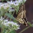 百日草とヒヨドリバナに止るアゲハチョウ