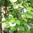 沙羅の花(季節だより20)