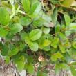 シラタマノキの葉