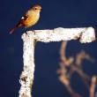 『花水の野鳥』 尉鶲♀