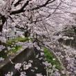 志井川の桜をパシャリ!