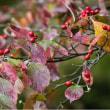 21/Oct 薔薇の雫玉とヤマガラと冬桜とハナミズキ