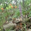 真夏に咲くキツネノカミソリ