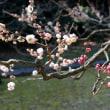 浜離宮恩賜庭園の菜の花と梅・・2