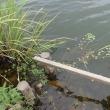 夏の内湖は魚がいっぱい