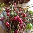 オキナワスズメウリ収穫