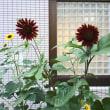 sunflower of inferno
