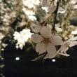 昨夜の夜桜見物