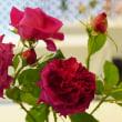 神代植物公園のバラ展 その5