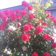 庭日記 6月前半 イチゴ畑とカシス花壇のバージョンアップなどをしました
