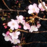 けやき公園の桜も開花!