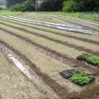 試験栽培中のタデ藍の苗を植え付けてます。